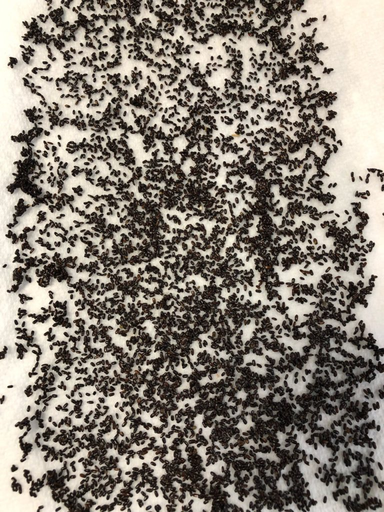 Lavender seeds on moistened paper towel for cold stratification germination process