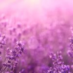 Allegan Michigan Lavender Farm